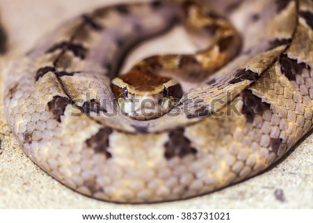 snake king cobra was curled up on the ground. - stock photo