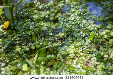 Snake looks out of the water vegetation - stock photo