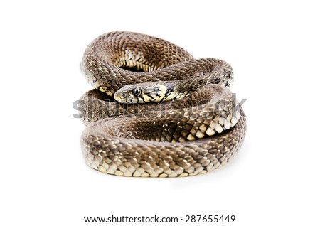 Snake lying isolated on white background - stock photo