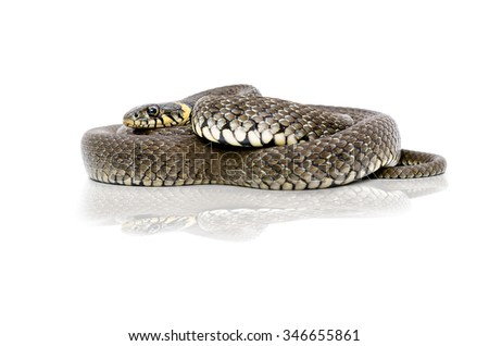 Snake lying with reflection isolated on a white background - stock photo