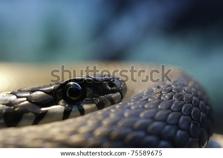 Snake (Natrix Natrix) resting in the warmth - stock photo