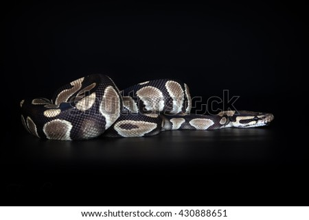 Snake on black background - stock photo