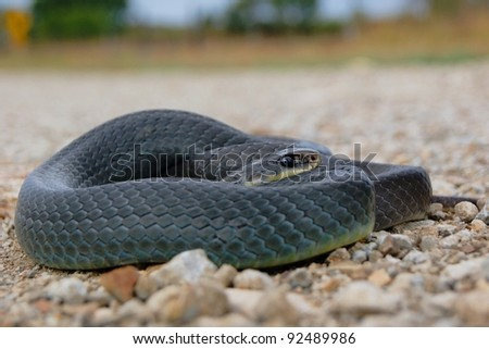 Snake on the road in danger of traffic - Eastern Yellow-bellied Racer, Coluber constrictor flaviventris - stock photo