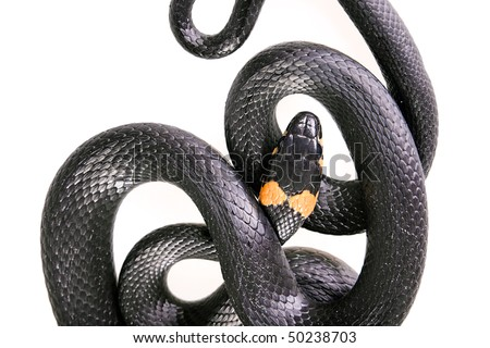 Snake on white background. - stock photo