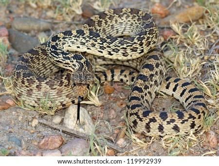 Snake poised to strike - Bull Snake, Pituophis catenifer sayi - stock photo