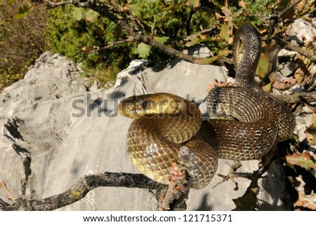 Snake portrait (Vipera berus, male) - stock photo