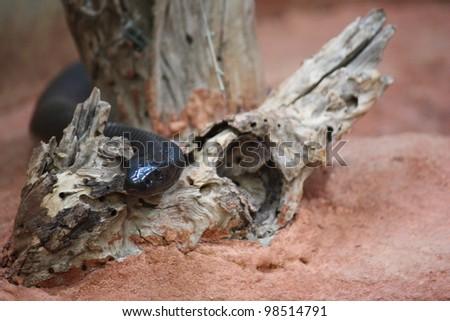 Snake slithering through tree bark on red sand. - stock photo