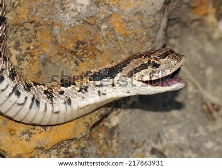 Snake with its mouth open - Eastern Hognose Snake, Heterodon nasicus  - stock photo