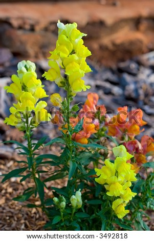 Snap Dragon Flower growing a flower garden along side a wall - stock photo