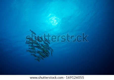 Snapper and grunt school, pacific ocean. - stock photo