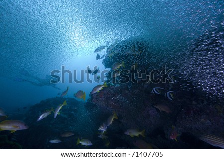 Snapper and other fish hunting glass fish on a coral reef with the sun and a diver in the background! - stock photo