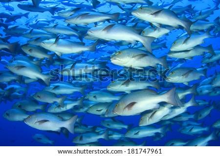 Snapper Fish School in Ocean - stock photo