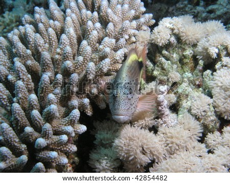 snapper hovering above hard coral