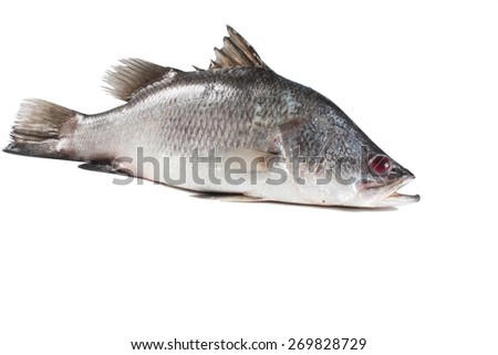 Snapper isolate on white - stock photo