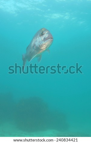 Snapper Pagrus auratus in open water - stock photo