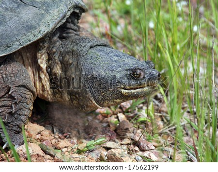 snapping turtle close up of head and neck
