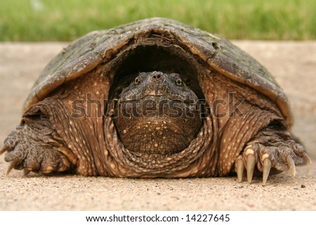 Snapping Turtle hides from behind his shell.
