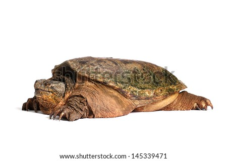 Snapping Turtle on White - stock photo