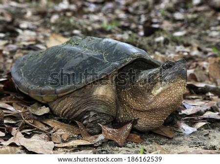 Snapping Turtle Out Looking for Nesting Site After Winters Hibernation - stock photo