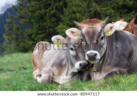 """Snapshot """"Alpine cow with Calf"""" is made overcast day in the high mountains of Merano(South Tyrol). - stock photo"""