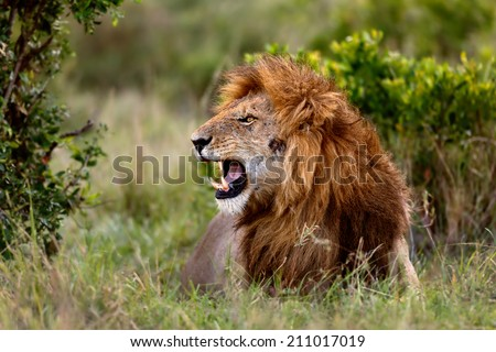 Snarling big Lion. It is Ron, one of four brothers, father is the legendary Lion Notch. Masai Mara, Kenya - stock photo
