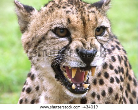 Snarling cheetah - stock photo