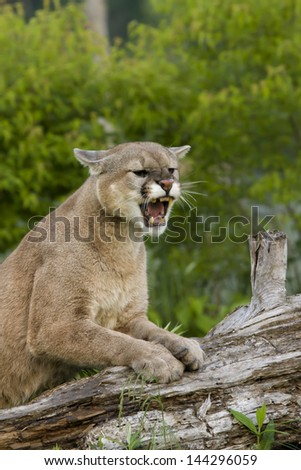 Snarling Cougar - stock photo