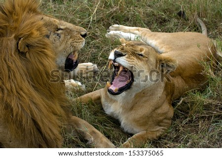Snarling lions - stock photo