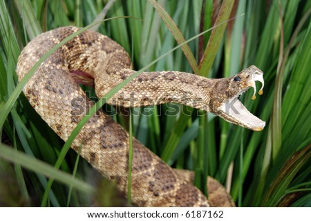 sneaky snake in grass - stock photo