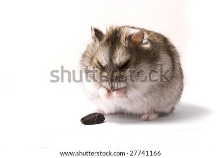 sneeze hamster - stock photo