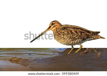 Snipe isolated on white,Snipe isolated, hunting trophy, material for designers