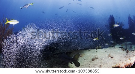 Snook and Yellow tail Snapper chasing minnows in a giant bait ball. Minnows surrounding fish in Key Largo, Florida. On the Wreck of the Benwood inside the John Pennekamp State Park. - stock photo