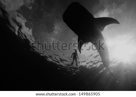 Snorkeler and Whale Shark - stock photo