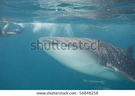 Snorkeling with a whale shark - stock photo