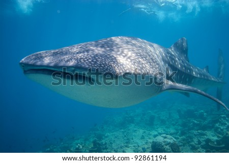 Snorkeling with a Whale Shark in the Maldives - stock photo