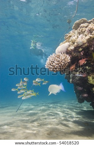 Snorkeller approaching a shallow tropical coral reef with fish. Naam bay, Sharm el Sheikh, Red Sea, Egypt. - stock photo