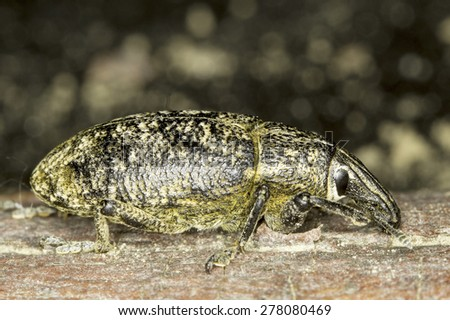 Snout beetle close-up / Lixus sp. - stock photo