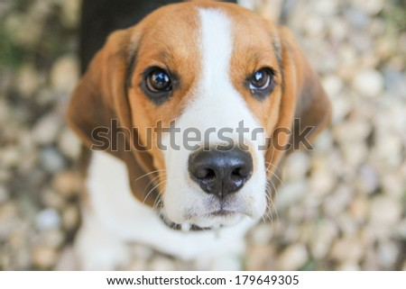 snout of adorable beagle puppy dog - stock photo