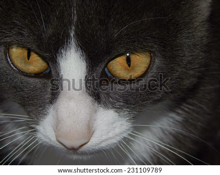 Snout of cat with yellow eyes closeup