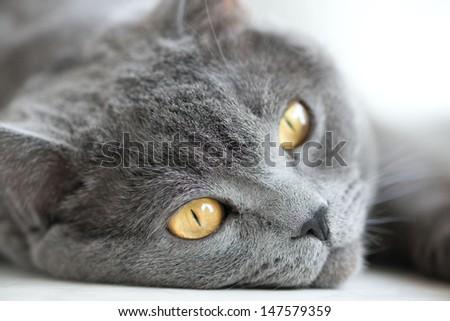 snout of gray british cat closeup - stock photo