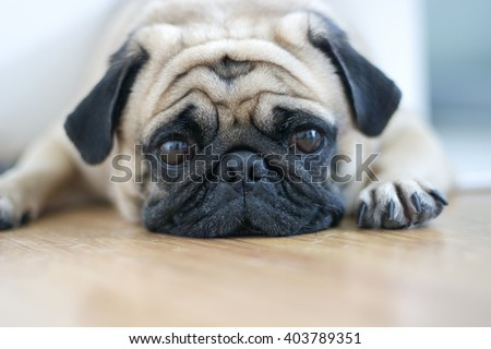 snout pug close-up soft focus - stock photo