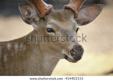 snout spotted deer with antlers looking into the distance close up