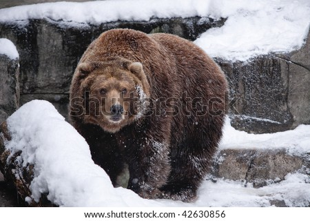 Snow Bear. Brown bear in snow. Horizontal format. - stock photo