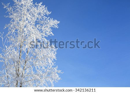 Snow branches on the tree at blue sky background. Frosty winter day - snowy branch closeup. - stock photo