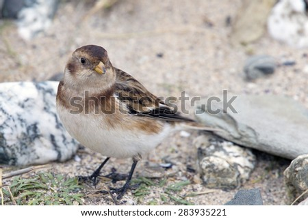 Snow Bunting, female in the sand dunes eating seeds at St Gothian LNR, Gwithian, Cornwall, England, UK. - stock photo
