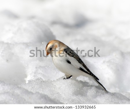 Snow Bunting looking for food. - stock photo