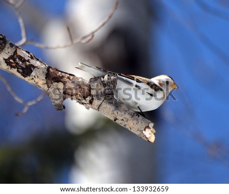 Snow Bunting on bare branch - stock photo