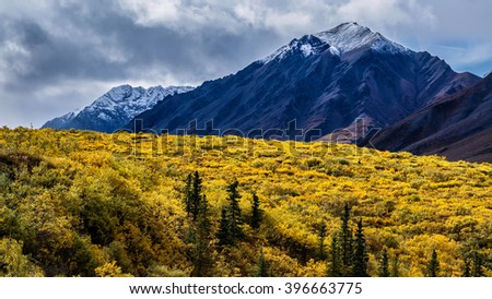 Snow-capped mountains of the Alaska Range stand behind black spruce trees (Picea mariana) intermixed with alder (Alnus sp.) in the sub-alpine region of Denali National Park. - stock photo