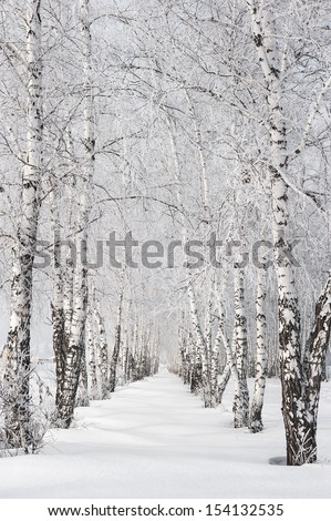 Snow-covered birch alley at winter sunny day