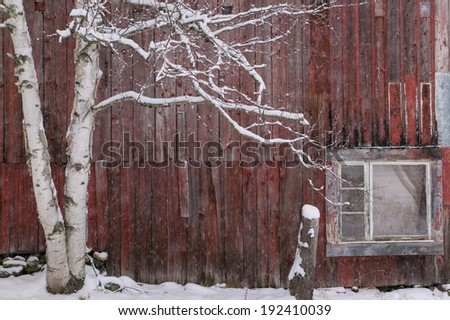 Snow covered birch tree in front of a weathered red barn, Stowe, Vermont, USA - stock photo
